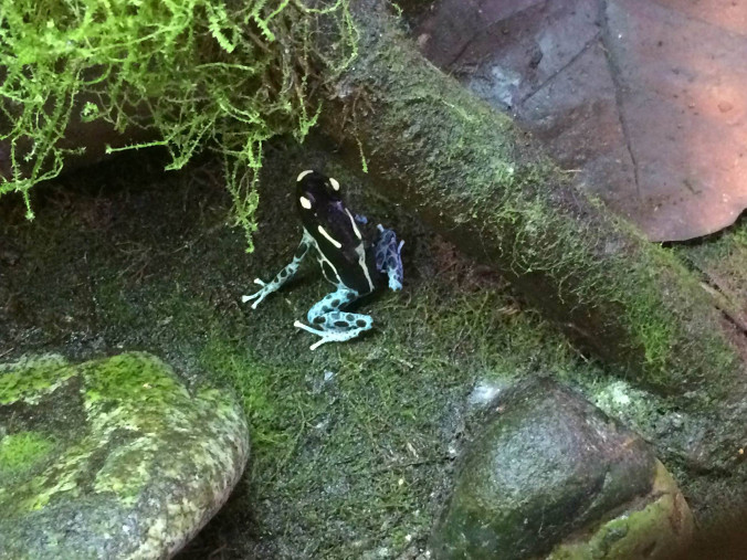 Dart Frog